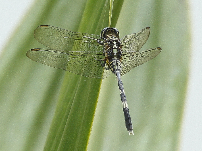 J01_1212 Orthetrum sabina female.JPG