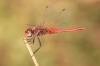 IMG_3609 Sympetrum fonscolombii