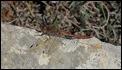 _18C0528 Sympetrum striolatum 12 Jan