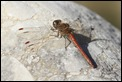 2013-12-23 Common-Darter