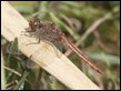 2016-01-03 Common Darter