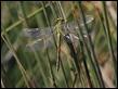 J18_1862 Gomphus pulchellus female