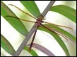 J19_3352 Austrophlebia costalis male